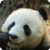 Panda : Zoo Wild Animals app for free