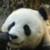 Panda : Zoo Wild Animals app for free