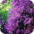 Lilac Blooming Live Wallpaper icon
