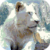 Beautiful White Lion Live Wallpaper app for free