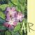 AnaRosa icon