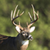 Whitetail Deer Calls app for free