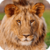 Beautiful Lion Live Wallpaper HD icon