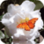 Butterfly On Roses Live Wallpaper icon