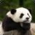 Beautiful Panda Live Wallpaper HD icon