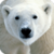 Beautiful Polar Bear Live Wallpaper HD app for free