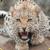 Beautiful Leopard Live Wallpaper HD icon