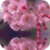 Cherry Blossoms Reflection Live Wallpaper app for free