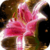 Royal Lily Mirror Live Wallpaper icon
