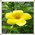 Buttercup Flowers Onet Classic Game icon