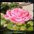 Rose1 live wallpaper icon