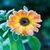 Calendula Flowers Onet Classic Game icon
