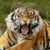 Sumatran Tiger Background icon