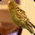 Parakeet Dance Live Wallpaper app for free