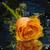 Beautiful Orange Rose Live Wallpaper app for free