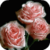 Blooming Pink Roses Final Live Wallpaper icon