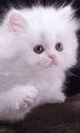 cat Lovely Wallpapers HD1 screenshot 3/6