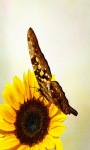 Sunflower Butterfly Live Wallpaper screenshot 2/3