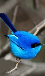 Blue Bird LWP screenshot 1/3