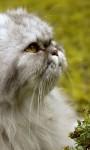 Cute Persian Cats Live Wallpaper screenshot 6/6