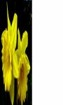 Daffodils flower wallpaper HD screenshot 1/3