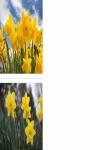 Daffodils flower wallpaper HD screenshot 2/3