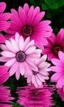 Pink Flowers LWP screenshot 2/3