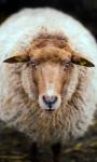 Netherland Sheep Live Wallpaper screenshot 1/4