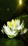 Lotus Flower Lwp screenshot 2/3