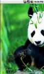 Real Panda Live Wallpaper screenshot 2/4