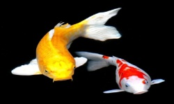 KOI Fish HD Live Wallpaper screenshot 4/6