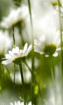 White Lily Flowers LWP screenshot 2/3