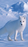 Arctic fox wallpaper screenshot 1/4