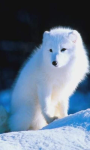 Arctic fox wallpaper screenshot 2/4