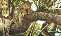 Leopard HD Wallpaper screenshot 2/5