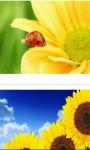 Ladybug on sunflower wallpaper HD screenshot 2/3