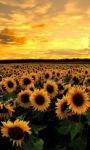 Sunflower Lwp screenshot 3/3