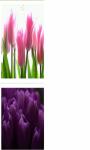 Purple Tulips bulbs Wallpaper HD screenshot 3/3