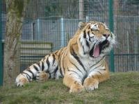 Wild Tiger Wallpaper screenshot 1/6