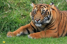 Wild Tiger Wallpaper screenshot 2/6