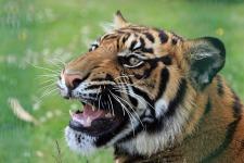 Wild Tiger Wallpaper screenshot 3/6