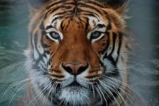 Wild Tiger Wallpaper screenshot 6/6