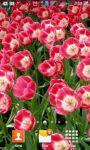 Beautiful Tulips HD Wallpaper screenshot 6/6