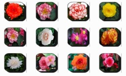 Begonia Flowers Onet Classic Game screenshot 1/3