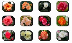 Begonia Flowers Onet Classic Game screenshot 2/3