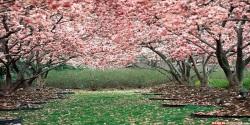 Sakura Flower 3D Wallpaper HD screenshot 1/6