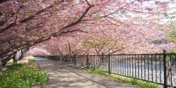Sakura Flower 3D Wallpaper HD screenshot 5/6