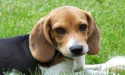 Cool Beagles Puzzles screenshot 1/6
