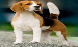 Cool Beagles Puzzles screenshot 2/6