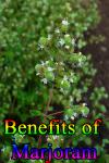 Benefits of Marjoram screenshot 1/3